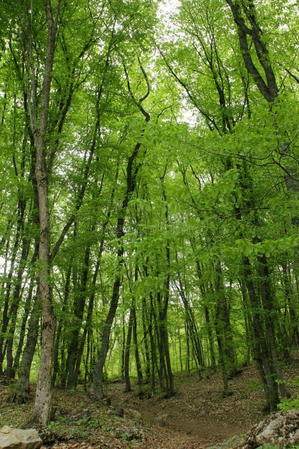 Groene bos, lange bomen stock afbeelding