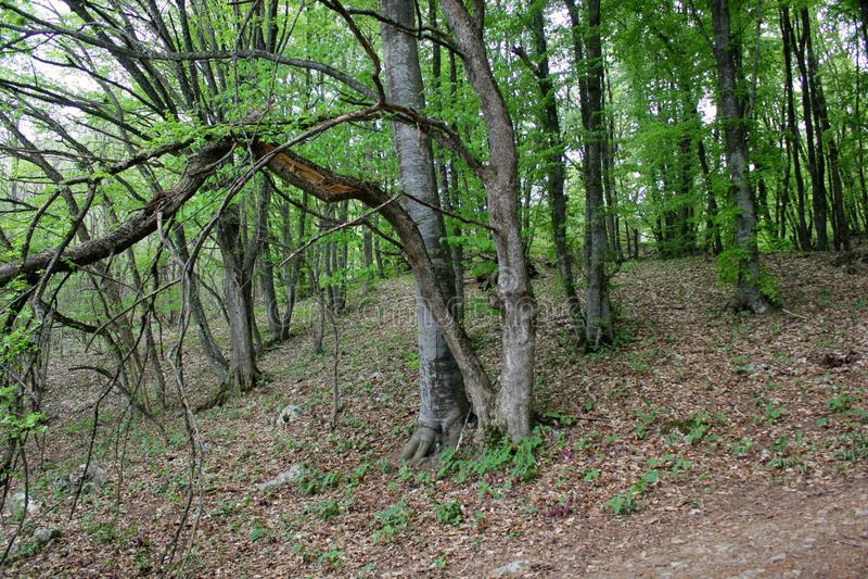 Groene bos, lange bomen stock fotografie