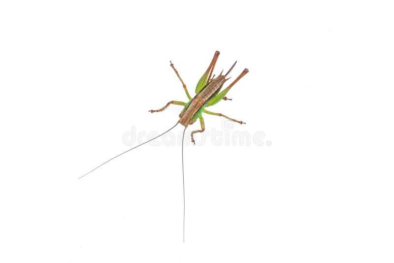 Groene bruine sprinkhaan op een witte achtergrond stock afbeeldingen