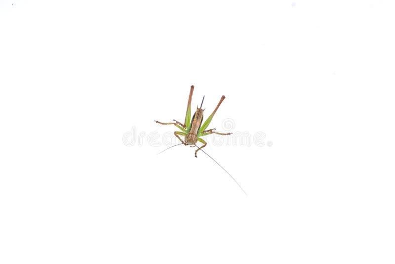 Groene bruine sprinkhaan op een witte achtergrond stock foto's