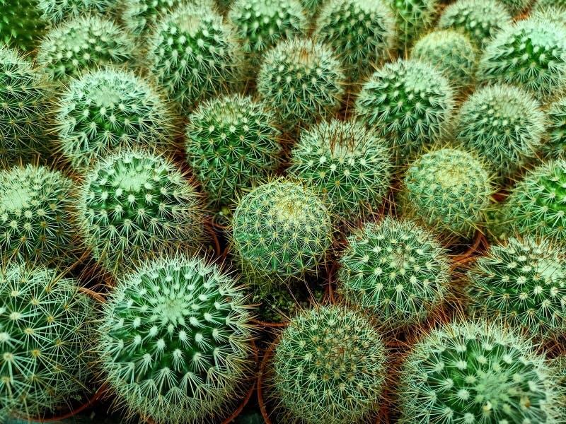 Groene cactaceae van de cactusfamilie royalty-vrije stock foto