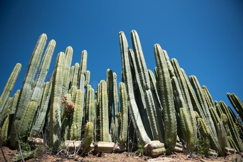 Groene cactus tegen blauwe hemel stock fotografie