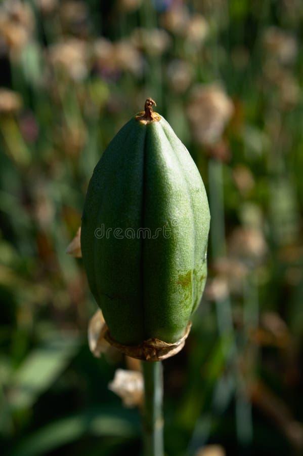 Groene capsule met zaden stock afbeeldingen
