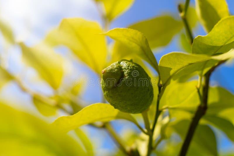 Groene citroen op boom royalty-vrije stock afbeelding