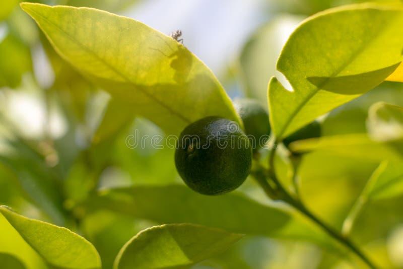 Groene citroen op boom stock fotografie