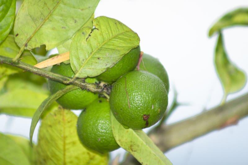 Groene citroen op de boom in de tuin royalty-vrije stock foto's