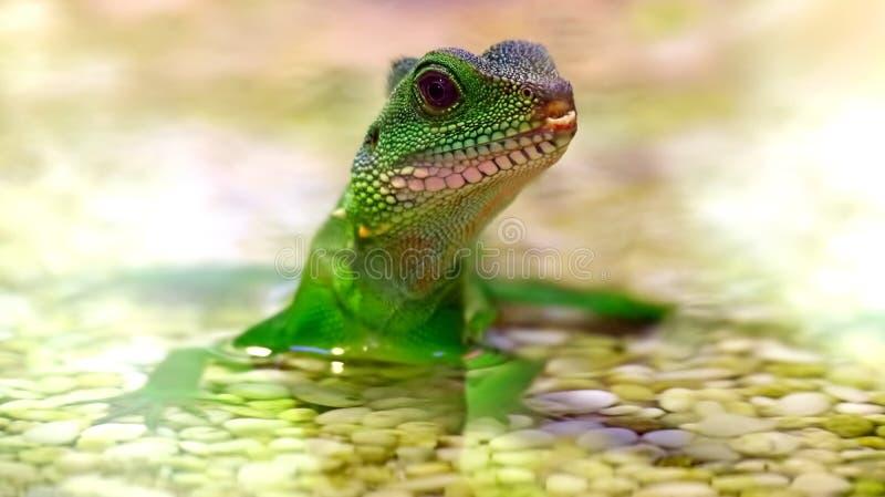 Groene cocincinus van de Draakphysignathus van het leguaan Chinese Water in water stock fotografie