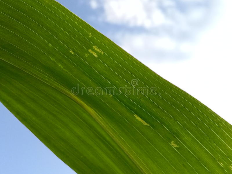 Groene Cornleaf, Maïs met witte Wolken en blauwe Hemelachtergrond stock afbeeldingen
