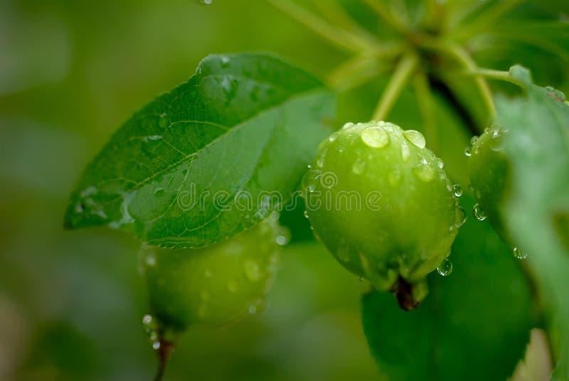 Groene Crabapple stock fotografie