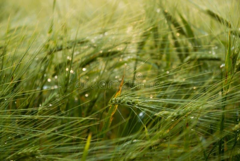Groene cropfield royalty-vrije stock afbeelding