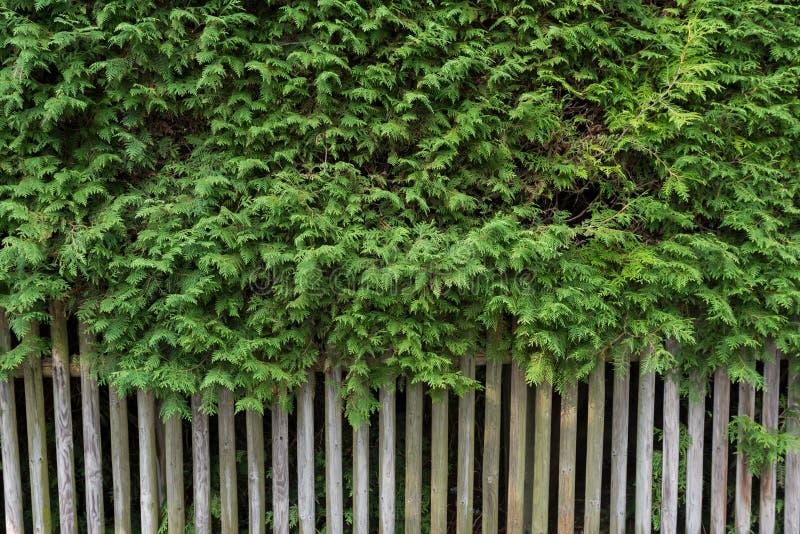 Groene cupressusboom met houten omheining als achtergrond Openluchtmuur, grens Groen behang royalty-vrije stock foto