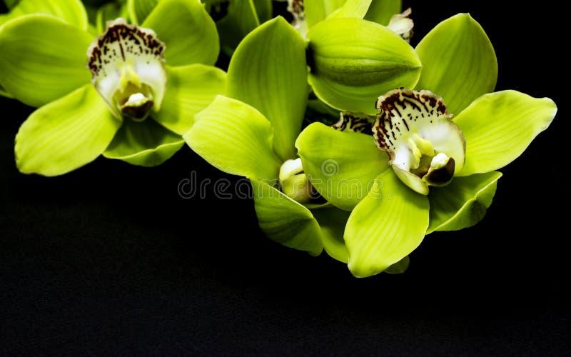 Groene Cymbidium-Orchidee op een zwarte achtergrond royalty-vrije stock foto's