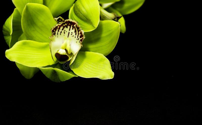 Groene Cymbidium-Orchidee op een zwarte achtergrond stock foto