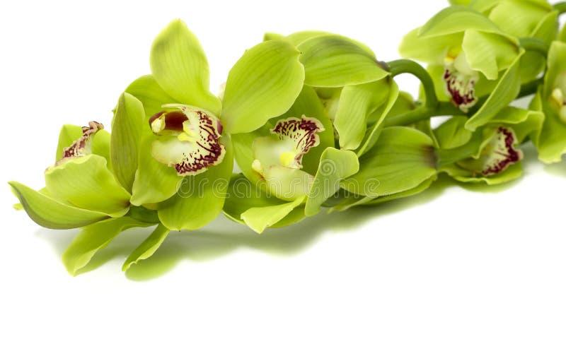 Groene Cymbidium-Orchidee op witte achtergrond stock afbeelding