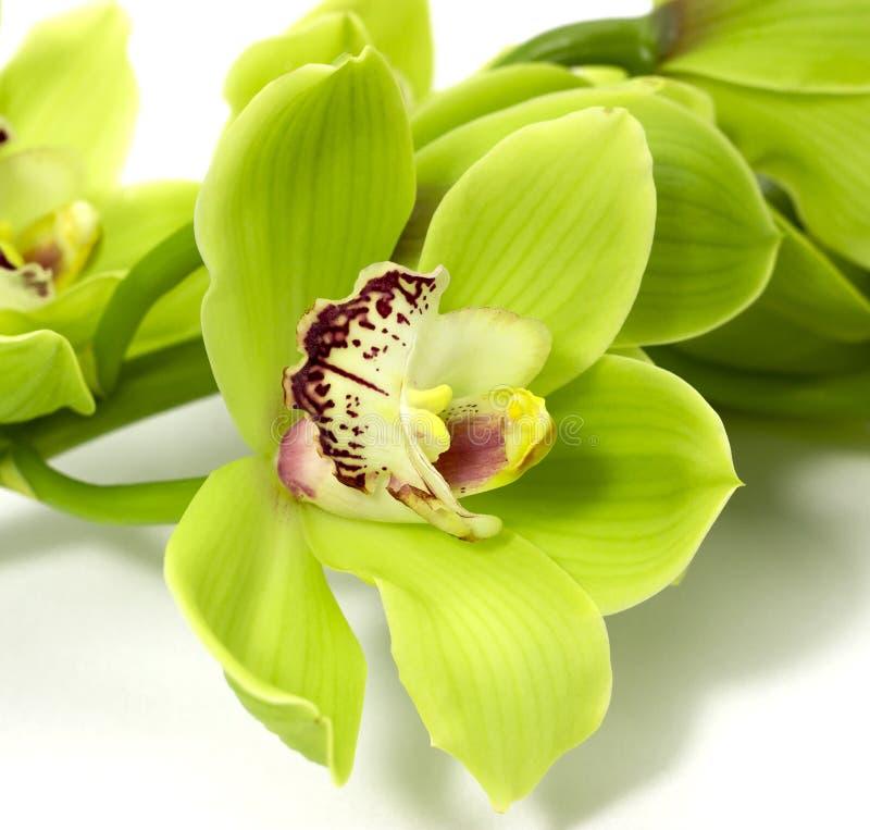 Groene Cymbidium-Orchidee op witte achtergrond stock afbeeldingen