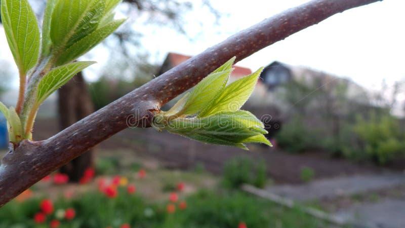 Groene de lentespruit van actinidia tegen de achtergrond van de avondtuin royalty-vrije stock foto