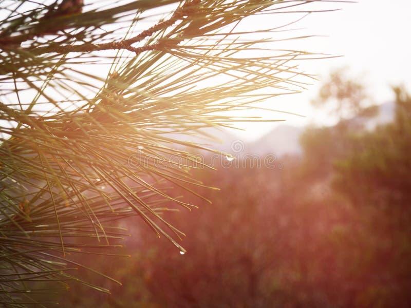 Groene de naaldentakken van een daalt de heldere altijdgroene pijnboomboom met regen De spar met dauw, naaldboom, dirkt dicht op stock foto's