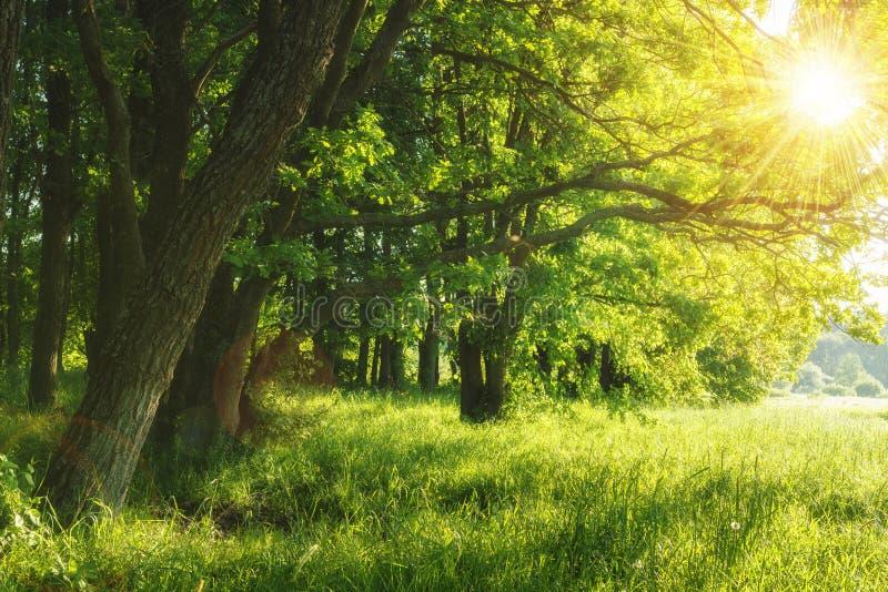Groene de zomeraard op zonnige dag De zomerachtergrond Bomen op groene weide Warm zonlicht door de bomen stock afbeeldingen