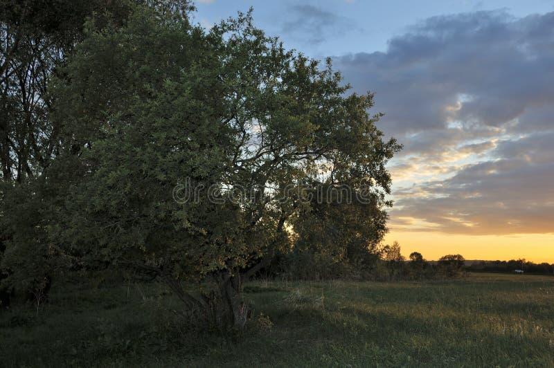 Groene de zomerweide met bloemen en kruiden en grote eiken boom Eenzame boom tegen een blauwe hemel bij zonsondergang De zomerlan royalty-vrije stock foto's