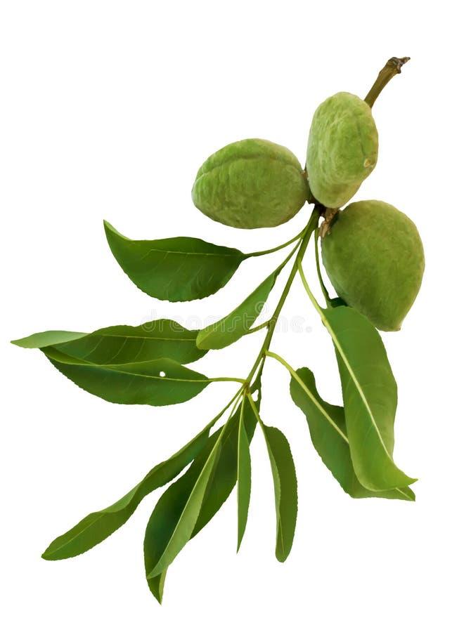 Groene die amandeltak op witte achtergrond wordt ge?soleerd Bladeren en jonge vruchten van amandelboom stock fotografie