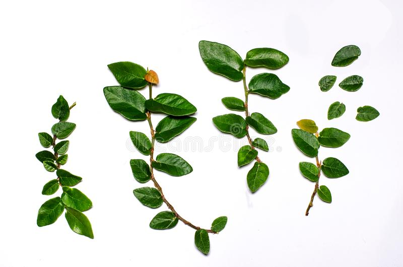 Groene die bladeren op een witte achtergrond worden geplaatst stock afbeelding