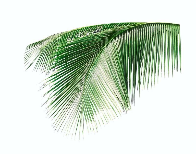 Groene die Bladeren van kokospalm op witte achtergrond wordt geïsoleerd stock afbeeldingen