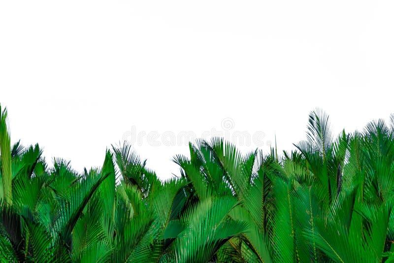 Groene die bladeren van palm op witte achtergrond wordt geïsoleerd Groen blad voor decoratie in biologische producten Tropische I stock afbeeldingen