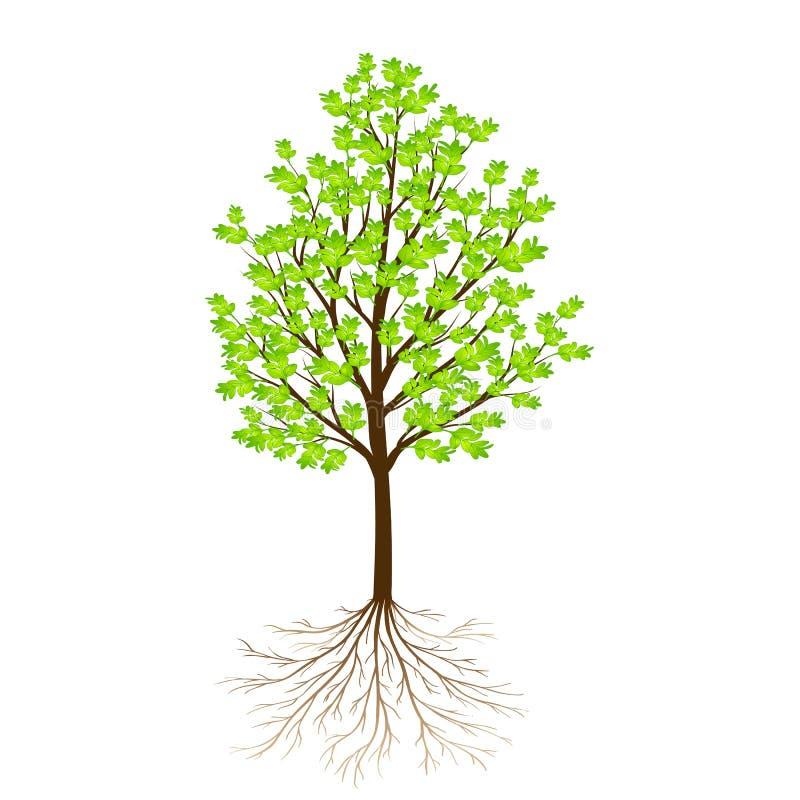 Groene die boom met bladeren en wortels op witte achtergrond worden geïsoleerd royalty-vrije illustratie