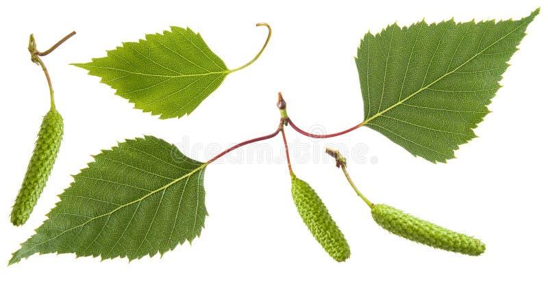 Groene die de bladeren van de berkboom en van bloeiwijzeoorringen bloemen op witte achtergrond worden geïsoleerd royalty-vrije stock foto