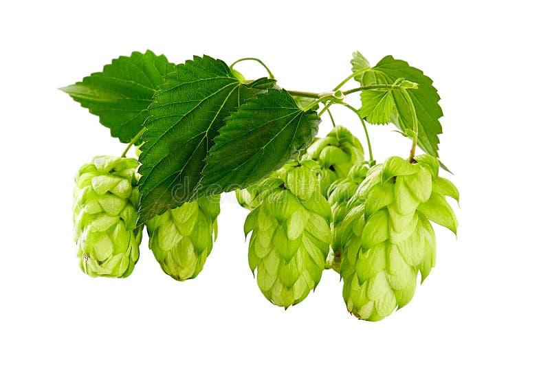 Groene die hop op een witte achtergrond wordt geïsoleerd royalty-vrije stock afbeelding