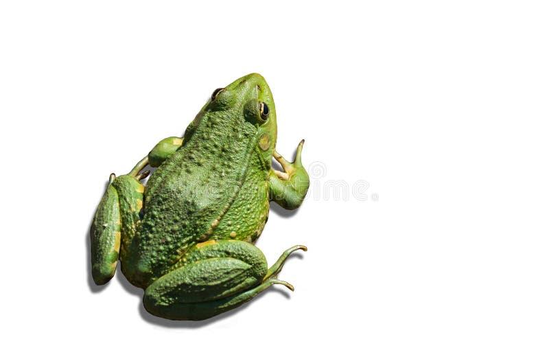 Groene die kikker op witte achtergrond wordt geïsoleerd royalty-vrije stock afbeeldingen
