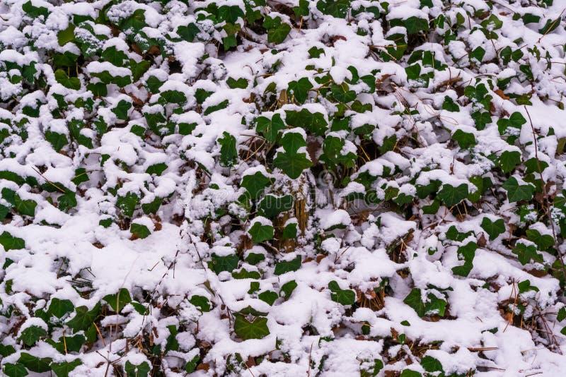 Groene die klimopbladeren in witte sneeuw, de achtergrond van de Aardwintertijd worden behandeld royalty-vrije stock afbeelding