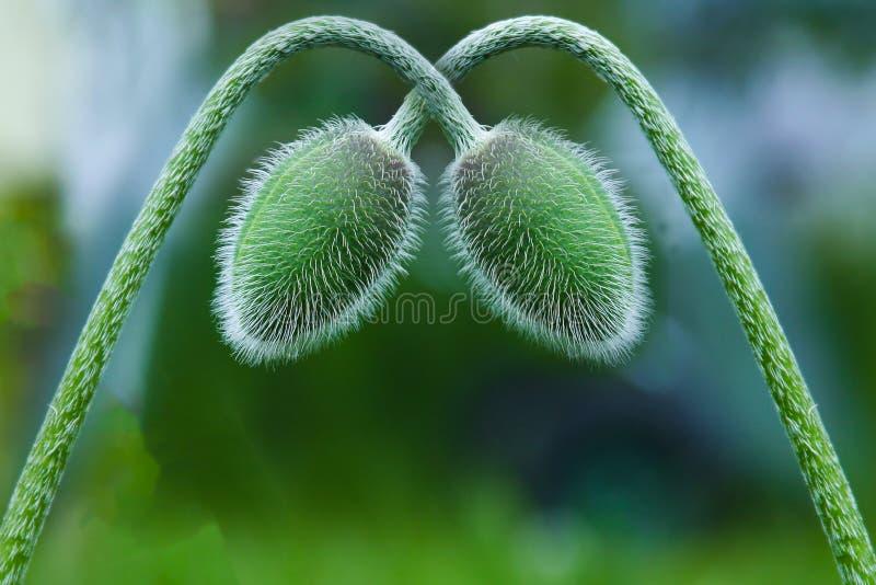 Groene die papavers aan elkaar worden gebogen stock afbeeldingen