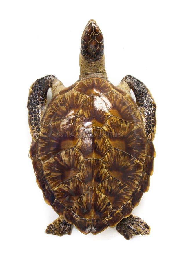 Groene die schildpad (Chelonia-mydas) op een witte achtergrond wordt geïsoleerd royalty-vrije stock afbeeldingen