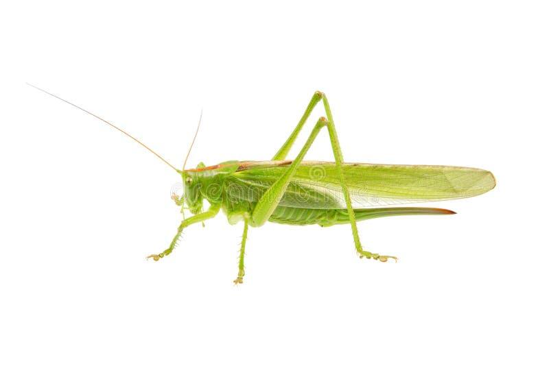 Groene die sprinkhaan op een wit wordt geïsoleerd royalty-vrije stock fotografie