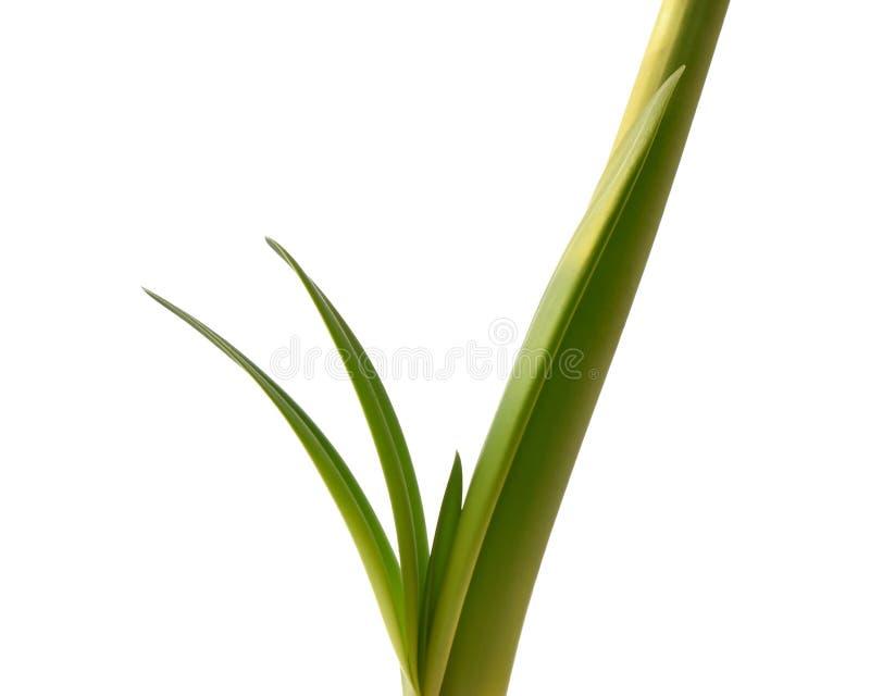 Groene die steel van amaryllisbloem op witte achtergrond wordt ge?soleerd royalty-vrije stock foto