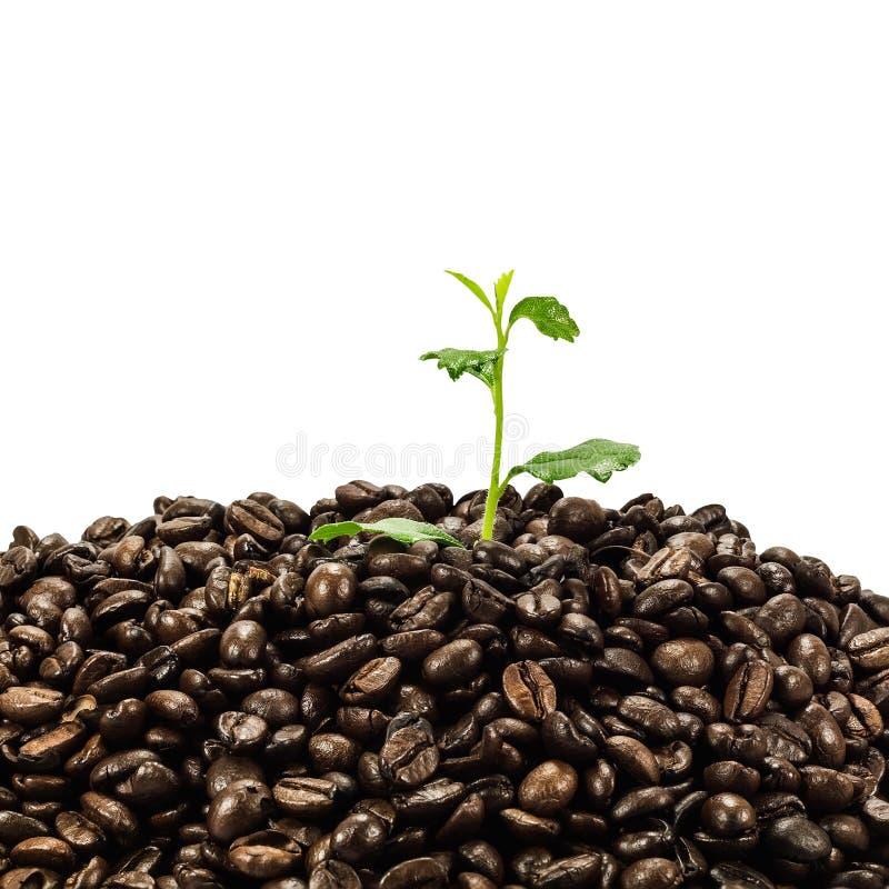 Groene die zaailing in koffiebonen op witte achtergrond worden geïsoleerd royalty-vrije stock fotografie
