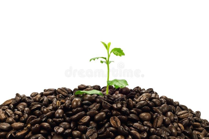 Groene die zaailing in koffiebonen op witte achtergrond worden geïsoleerd stock foto