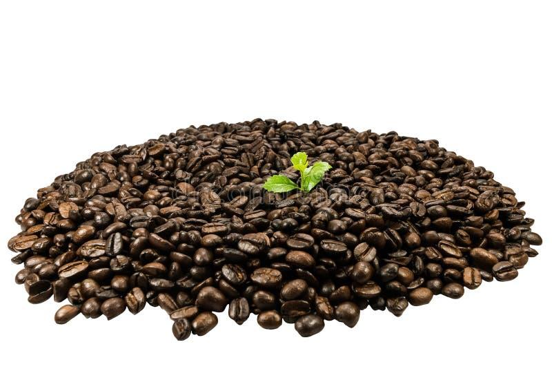 Groene die zaailing in koffiebonen op witte achtergrond worden geïsoleerd royalty-vrije stock foto's