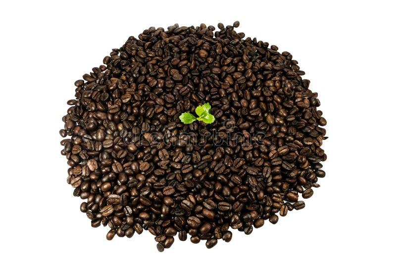 Groene die zaailing in koffiebonen op witte achtergrond worden geïsoleerd royalty-vrije stock afbeelding