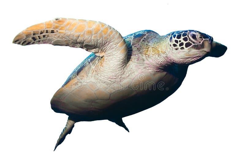 Groene die zeeschildpad op witte achtergrond wordt geïsoleerd royalty-vrije stock fotografie