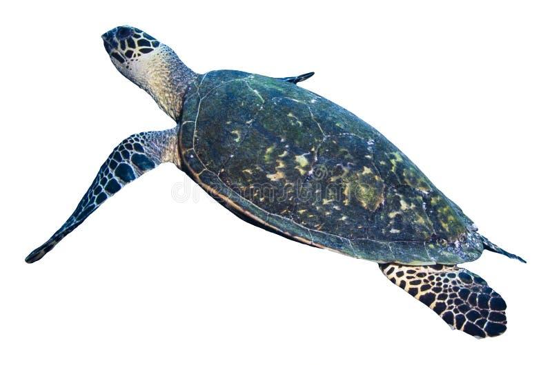 Groene die zeeschildpad op witte achtergrond wordt geïsoleerd stock foto's
