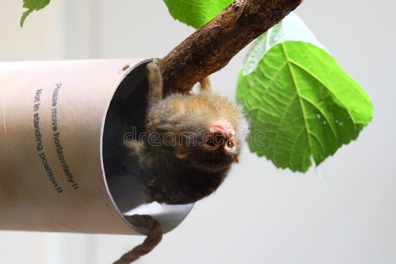 Groene dierlijke aap stock fotografie