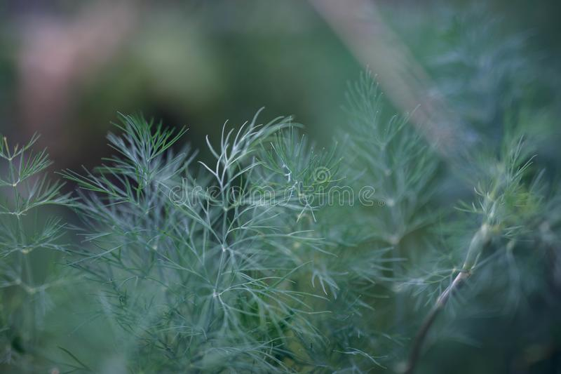 Groene dille in de tuin royalty-vrije stock foto