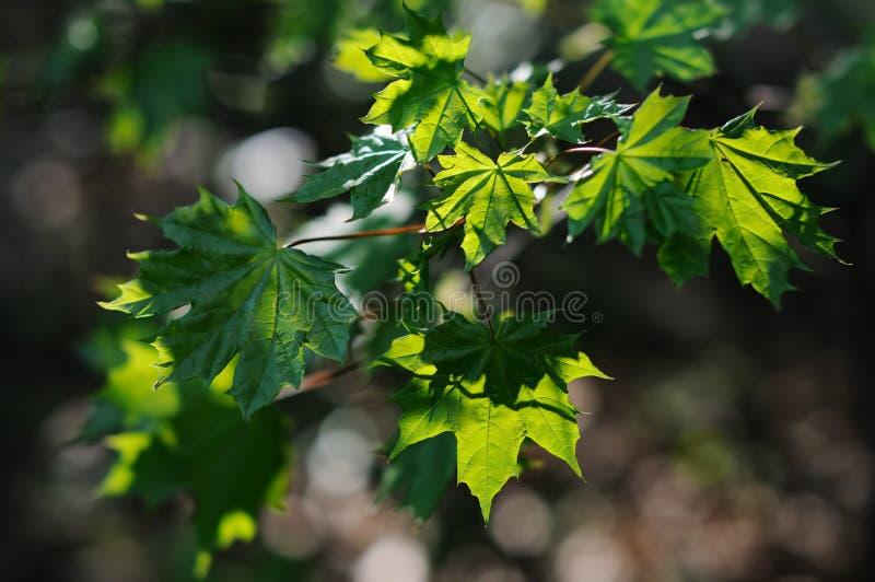Groene doorzichtige esdoornbladeren royalty-vrije stock fotografie