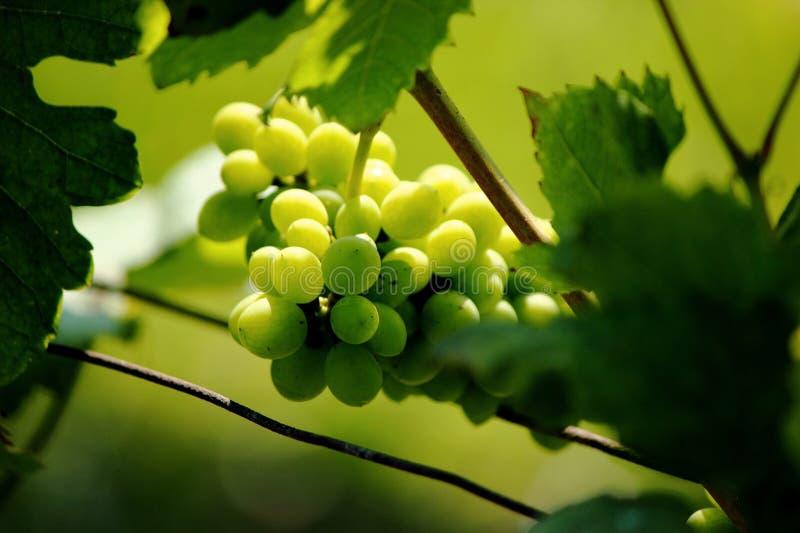 Groene druif royalty-vrije stock afbeelding