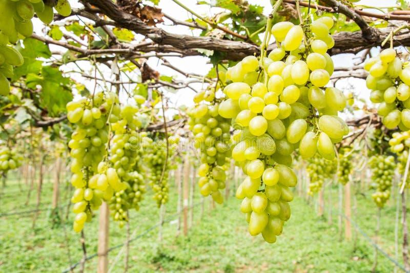 Groene druif op wijnstok royalty-vrije stock fotografie