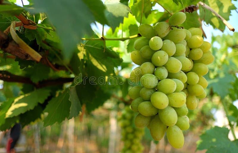 Groene Druif in wijngaard met zonlichteffect royalty-vrije stock foto's