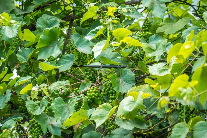 Groene druiven die op een struik in het dorp hangen stock foto's