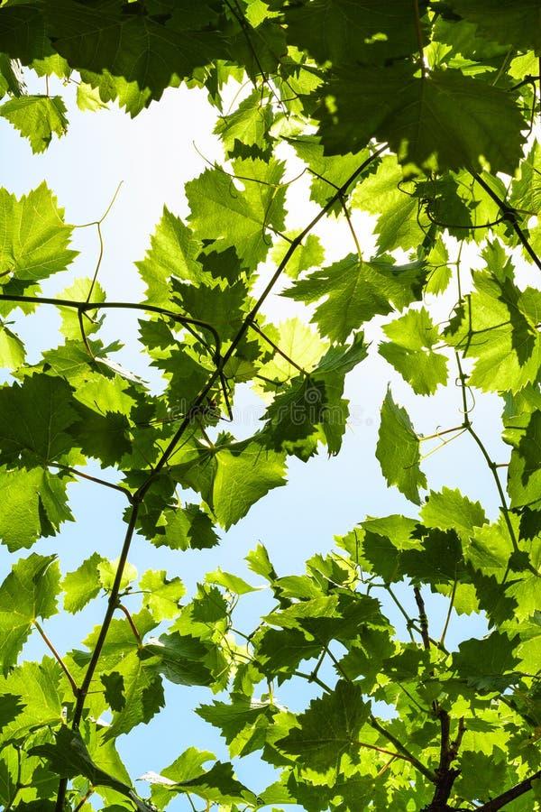 Groene druivenbladeren van wijngaard en blauwe hemel stock afbeeldingen